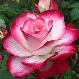 Rosebun