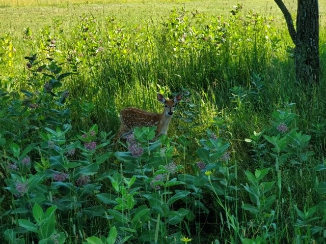 Whitetail Fawn hiding on the golf course.